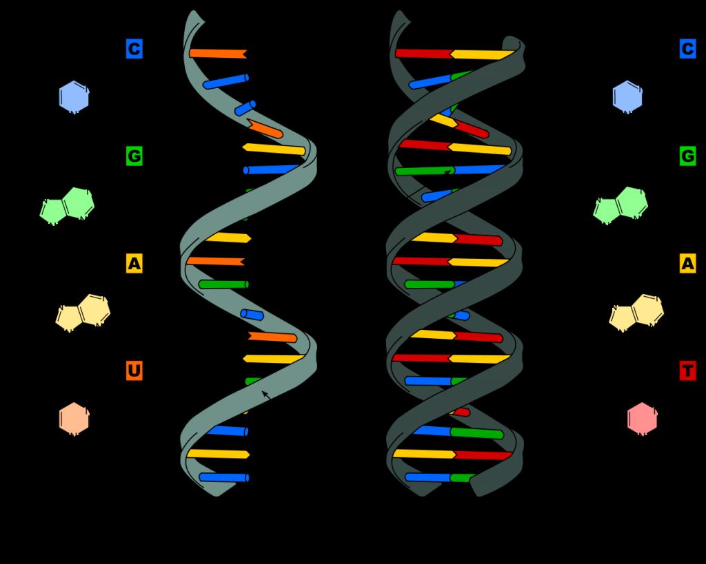 DNA Genes Genetics