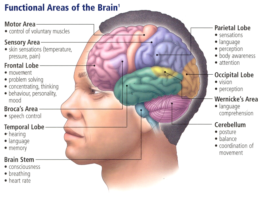 human brain neuroscience cognitive science, Human Body