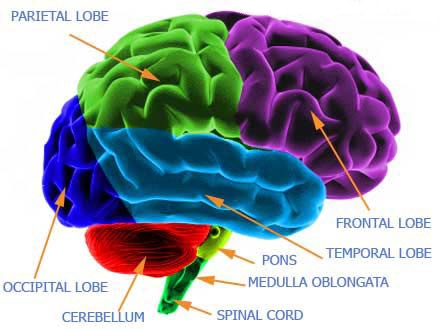 Several Parts Of Your Brain Help You >> Human Brain Neuroscience Cognitive Science