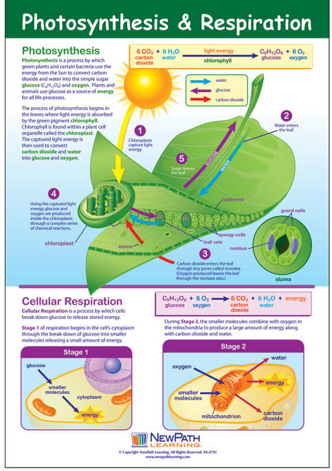 Photosynthesis Learning Poster