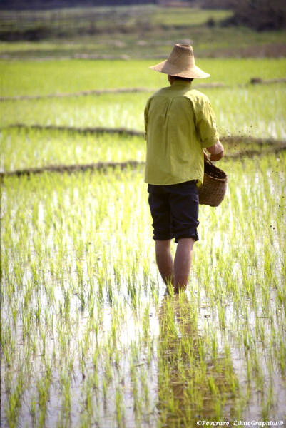 Rice Farmer in Field with water